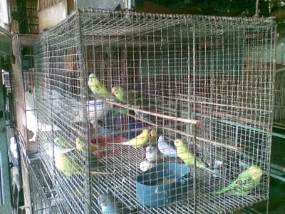 Burung Parkit di Pasar Burung Barito